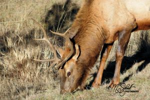 Elk Evergreen Colorado Dec2014-0765 by MSchmidtPhotography
