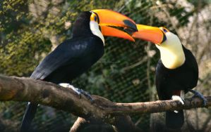 Kissing Toucans by EHilsdonPhotography