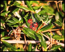 Ladybirds by kkitat