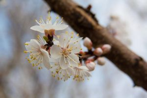 Buds + Flowering on Trees = Spring by quasi-Virtuoso