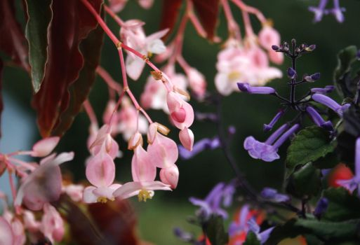 Angel Wing begonia vs Plectranthus by Crematia18