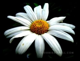 Daisy by debbieattwell