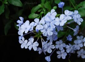 Blue Plumbago by Phenix59