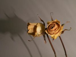 dried yellow rose 02 by Dikatze