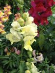 White-yellow snapdragon by Gallerica