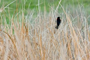 Red-Winged Blackbird on a Reed by Elijah-Snow