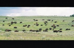 Buffalo Herd by truthcanbebought