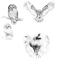 Owl sketches by pandaloverlol