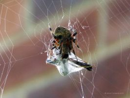 Spider by Ashwings