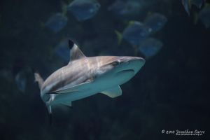 200310 Blacktip 2 by InsaneGelfling