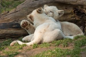 4206 - White lion cubs by Jay-Co
