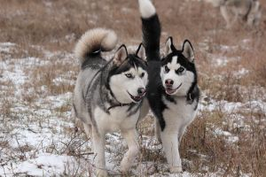 Siberian Huskies 2303 by DeingeL-Dog-Stock