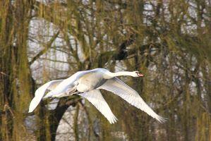 Swans in flight by JetteReitsma