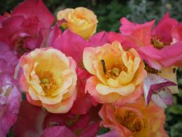 Roses by tinuvielluthien