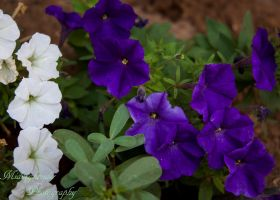 Blue and White Patunia.. by midnightrider79