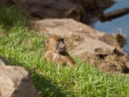 Guinea Baboon 04 - Sep 13 by mszafran