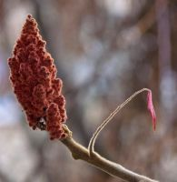 "Staghorn Sumac ""Rhus typhina"" 2 by JoeGP"