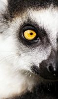 Lemur catta by Mias-Photography