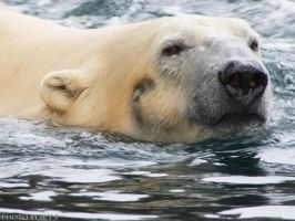 Polarbear in water3 by Globaludodesign