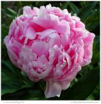 Pink Peony by In-the-picture