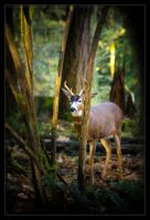 Black-tailed Deer: In the Woods by Flame-of-the-Phoenix
