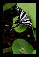 If Zebras Could Fly by Aeires
