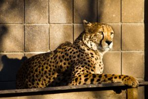 cheetah536 by redbeard31