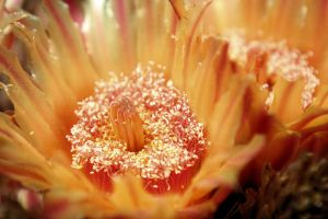 Inside a barrel cactus flower by fatherofanartist