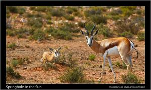 Springboks in the Sun by Andrew-and-Seven
