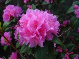Rhododendron by Tranquil-Insanity