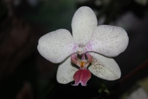 orchidee by lindaatje