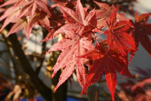 Japanese Maple by XResch
