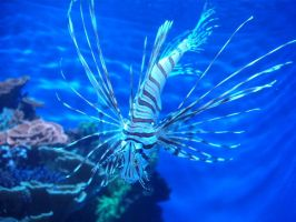 Lion Fish by xxBlueLoverxx