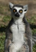 Ring Tailed Lemur 1 by SalsolaStock