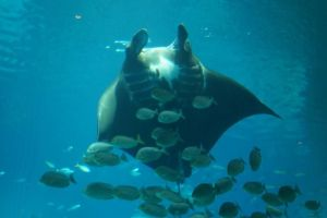 Mighty Manta Ray by Roses-and-Feathers