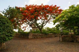 Punta Cana--- Red tree by Moruto