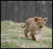 Cub - Charge by CriticalPhotography