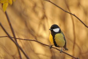 Parus major by Livardez