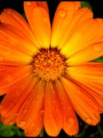 Calendula by escariel