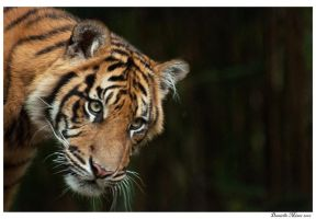 Tiger Cub by DanielleMiner