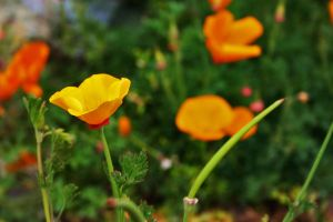 Poppies, 3 by ThatsByronic