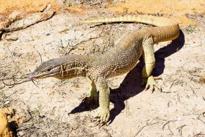 Sand Goanna by ribbonworm