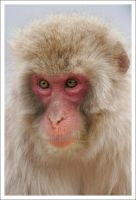 Macaque Portraits - II by eight-eight