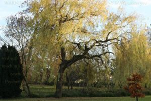 Willow Tree by PzychoStock