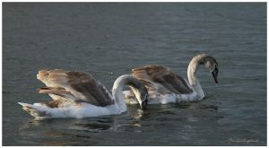 Swans 4 by Claudia008