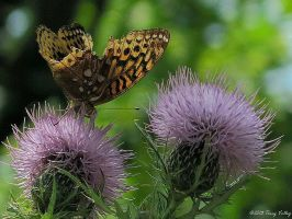 Butterfly on Thistle by VisionsSeen