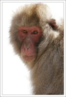 Macaque Portraits - IV by eight-eight