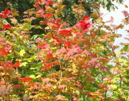 Vine maple leaves in red and yellow by SkyfireDragon
