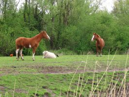 Two brown horses and a sheep by steppelandstock