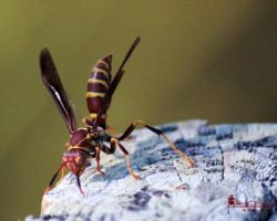 Paper Wasp by WatchTower513